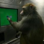 میمونی در حال انجام بازی بر روی صفحۀ نمایش لمسی