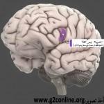 ناحیۀ برُکا در مغز انسان که با گفتار پیوند تنگاتنگ دارد.